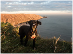 Dog_C190057 (HJSP82) Tags: fileybrigg filey cliffs coast dog ocean sea maggie sunset goldenhour