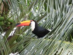 Tucano (Toucan) (Hélio Paranaíba Filho) Tags: nature natureza ave pássaro bird birds tucano toucan ramphastidae ramphastides piciformes