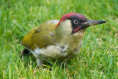 Green Woodpecker (RobLesliePhotography) Tags: leica100400mm panasonicg80