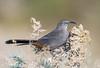 Crissal Thrasher (Ed Sivon) Tags: america canon nature lasvegas wildlife wild western southwest desert clarkcounty clark vegas bird henderson nevada nevadadesert preserve