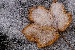 Transition (Onnalua) Tags: transition automne hiver autumn winter proxy minimalisme feuille leaf neige snow froid cold anna bunichon buni sony slt a58 tamron lens 90mm contrast contraste contrasté