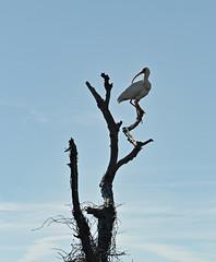 White Ibis on a Tree (Constantine L.) Tags: outerbanks northcarolina birds ibis white pea island wildlife refuge obx