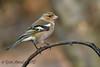 xxD40_7054 (Eyas Awad) Tags: eyasawad nikond4 sigma500f45 nikond800 nikonafs300mmf4 bird birds birdwatching wildlife nature fringuello fringillacoelebs