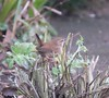 Wren (Last few pictures of 2017) (David Warrell) Tags: fujixe2 fujixf100400mmf4556rlmoiswr inthegarden closeup wren wildbirds wildlife gardenbirds northamptonshireuk