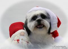 Rakker ready for Christmas (Hondentrimsalon-Warber) Tags: doggroomimg christmas white puppy sweet lovely pretty lovable dog merrychristmas