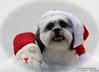 Rakker ready for Christmas (Hondentrimsalon-Warber) Tags: doggroomimg christmas white puppy sweet lovely pretty lovable dog merrychristmas