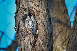 Chroniques d'Angrignon   Odi au trou no 9   Petit-duc maculé femelle de forme grise   Parc Angrignon   Arrondissement Sud-Ouest   Montréal  [Explore   2017-12-28   R34]