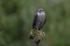 R17_2860 (ronald groenendijk) Tags: cronaldgroenendijk 2017 eurasiansparrowhawk rgflickrrg accipiternisus animal bird birds birdsofprey groenendijk hawk holland nature natuur natuurfotografie netherlands outdoor ronaldgroenendijk roofvogel roofvogels sparrowhawk sperwer vogel vogels wildlife