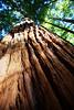Redwoods Forest, Rotorua, New Zealand (Daniel Kliza) Tags: nz newzealand downunder auckland waitomo glowworm cave matamata hobbit hobbiton film filmst rotorua maori tribe whakarewarewa reedwoods treewalk taupo geyser lake nature landscape beach papamoa wellington te waikoropupu tewaikoropupu wharariki punakaiki pancake rocks greymouth hokitikagorge gorge hokitika franz josef glacier fox wanaka milford sound anau teanau homer tunnel queenstown bungee ajhackett