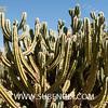 Myrtillocactus geometrizans (SUBENUIX) Tags: cactaceae myrtillocactusgeometrizans suculentas subenuix subenuixcom planta suculent suculenta botanic botanical
