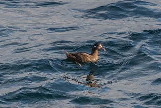 Harlequin Duck , Cape Spear