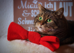 A new year ? You sure ? (FocusPocus Photography) Tags: cleo katze cat chat gato tier animal haustier pet tabby schleife bow
