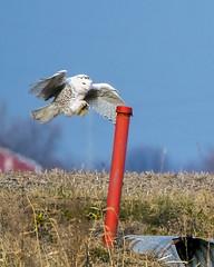 Snowy Owl (Bubo scandiacus) landing on post (wplynn) Tags: snowy owl bubo scandiacus avian wild bird mtcomfort mountcomfort indiana irruption indianapolis