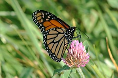 Monarch Butterfly 471 - Danaus Plexippus (Chrisser) Tags: insects insect butterflies butterfly monarch danausplexippus nature ontario canada canoneosrebelt6i canonef75300mmf456iiiusmlens nymphalidae