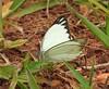 Borboleta (Butterfly) (Hélio Paranaíba Filho) Tags: nature natureza borboleta butterfly lepidoptera papilionoidea pieridae panapanás panapanãs hesperioidea rhopalocera macro