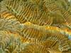 close up of brain coral (Jwaan) Tags: braincoral macro bvi britishvirginislands caribbean westindies underwater