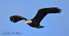 Bald Eagles (larryvenus) Tags: eagles baldeagles lowerklamathwildliferefuge lowerklamathwildliferefugeeagles birdsofprey tulelake tulelakeeales klamathfalls klamathfallseagles nikon nikond500 nikonphotography tamron tamron150600mmg2 tamronphotography