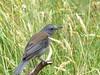 Time for some bird fotos - Grey Shrike Thrush (PsJeremy - back and catching up...) Tags: greyshrikethrush colluricinclaharmonica australian