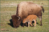 Bison in Spring 6518 (maguire33@verizon.net) Tags: bison yellowstone calf mother motherhood reddog springtime wildlife