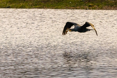 Cormorant in Flight (iantaylor19) Tags: warwickshire wildlife trust brandon marsh reserve bird flight cormorant british birds