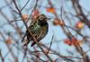 European Starling - 094A5767a3c (Sue Coastal Observer) Tags: europeanstarling eust sturnusvulgaris boundarybay delta bc britishcolumbia canada nonbreedingplumage winter