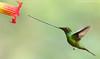 Sword-billed Hummingbird (Ensifera ensifera) (www.sanjorgeecolodges.com) Tags: swordbilled hummingbird ensifera birds ecuador south america san jorge ecolodge quito bird photo photography workshops tours trips best luis alcivar