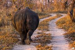 Rinoceronte bianco (Mario Barbieri Photography) Tags: 2009 canonef100400mmf4556lisusm canoneos50d ingrandimenti ingrandimentistampati krugersabisandreserve rinocerontebianco sudafrica thebestofthebest thebestof krugerpark mpumalanga za