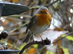 Rain drops allday (BrigitteE1) Tags: regen rain vogel bird robin regentropfen raindrops rotkehlchen bremen deutschland germany specanimal