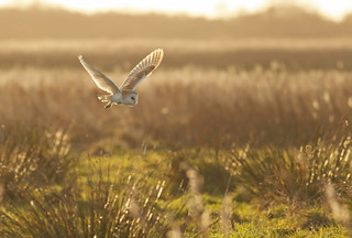 Hunting Barn owl in the golden hour