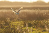 Hunting Barn owl in the golden hour (Mrs Scattercushion) Tags: barn owl raptor norfolk winter sunshine reeds hunting backlight backlit golden silhouette nature birds