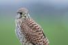 R18_8802 (ronald groenendijk) Tags: cronaldgroenendijk 2018 falcotinnunculus bird birds birdsofprey groenendijk kestrel nature natuur natuurfotografie netherlands outdoor ronaldgroenendijk roofvogels torenvalk vogel vogels