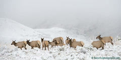 Early Snow (Doug Dance Nature Photography) Tags: ddnp theborealphographercom dougdancenaturephotography naturephotography wildlife northamericanwildlife wildlifephotography yellowstone yellowstonenationalpark yellowstonewildlife mammal animal elk snowylandscape elkherd