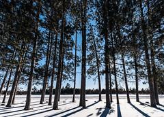 Winter Trees - St. Croix State Park, MN (Tony Webster) Tags: december minnesota saintcroixstatepark stcroixstatepark snow trailcenter trees winter hinckley unitedstates us