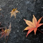 Momiji - Japanese Maple Leaf (Akasaka, Japan) thumbnail