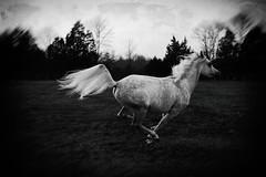 like the wind (Jen MacNeill) Tags: horse horses equine art arabian roze arabians grey bnw blackandwhite bw canter gallop jennifermacneill littledoglaughednoiret