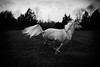 like the wind (Jen MacNeill) Tags: horse horses equine art arabian roze arabians grey bnw blackandwhite bw canter gallop jennifermacneill littledoglaughednoiret