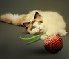 The new toy of Pindar (jaci XIII) Tags: gato bola animal brinquedo cat ball toy