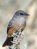 Say's Pheope (Ed Sivon) Tags: american america canon nature lasvegas wildlife wild western southwest desert clarkcounty clark vegas bird henderson nevada park