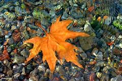 Lonely traveler... (gregtz) Tags: leaf colours autumn art water river orange emotions abstract φύλλο φύση nature nikon 5200 φθινόπωρο συναισθήματα πορτοκαλί ποτάμι