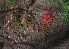 Stylidium recurvum and Grevillea bipinnatifida ssp bipinnatifida, Red Hill, near Perth, WA, 18/10/17 (Russell Cumming) Tags: plant stylidium stylidiumrecurvum stylidiaceae grevillea grevilleabipinnatifida grevilleabipinnatifidabipinnatifida proteaceae redhill perth westernaustralia