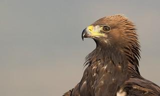 MRC_8524 Golden Eagle / Aguila Real