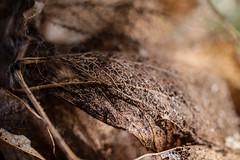 Veins (jamiebegnaud) Tags: fall macro bokeh leaves light shadow veins