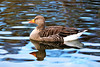 Reflections (stellagrimsdale) Tags: greylag goose greylaggoose orange beak eyes ripples bird fowl waterfowl pond wildlife feathers hollowpond water geese reflection reflections uk canon brown