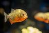 Osaka Aquarium Kaiyukan (PhilliB123) Tags: sumida aquarium osaka kaiyukan world uminonakamichi marine 35mm a7ii sony zeiss f14 distagon japan tokyo fukuoka underwater fish life travel holiday sea ocean animals