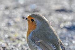 Backlit robin (Paul Wrights Reserved) Tags: robin bird birding birds birdphotography birdwatching songbird