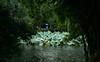 1,658 (Panda1339) Tags: thegreat50mmproject 50mm green 南翔 shanghai 上海 sh umbrella raining lotus 古猗园 guyigarden