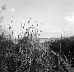 Reeds at the riverside (Rosenthal Photography) Tags: ff120 weltaweltax landschaft 6x6 schilf schwarzweiss asa400 mittelformat elbe ilfordxp2 gras bnw bw herbst krautsand 20171104 analog landscape riverscape river nature mood blackandwhite mediumformat autumn november grass rotten reed beach welta weltax czj zeiss 75mm f35 ilford xp2 epson v800