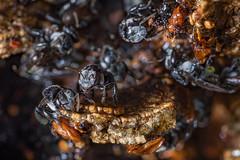 Australian Stingless Honeybee (Trigona carbonaria) (MrCrotalusAtrox) Tags: honeybee insect honey bees fuji fujifilm macro macrophotography xf80mm 80mm pollen trigonacarbonaria trigona australia queensland