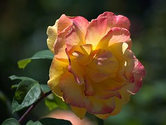 A Rose I Suppose (swong95765) Tags: flower floral rose pretty beauty nature bokeh