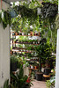 Hanging plants (Josiedurney) Tags: london eastlondon adventure adventures fun explore exploration myends towerhamlets bethnalgreen hackney canarywharf hipster indie style tumblr green plants nature houseinterior interiordecor natural daylight light shadows selling economy cute cool inspiration plant pinterest leaves white classic clean succulents palms flowers cacti lillies airplants hangingplants trailingplants plantpots creative millenials conservatory archives shop